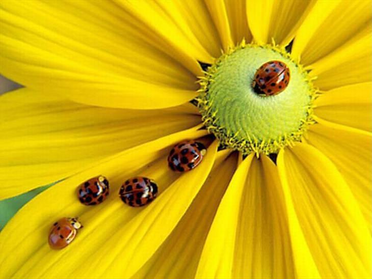 Ladybugs or Ladybirds