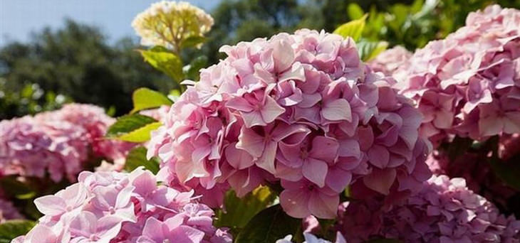 The Ph Balance Of Soil Can Negatively Affect Your Precious Hydrangeas Not To Worry A Few Old Coffee Grounds Should Help Do Trick