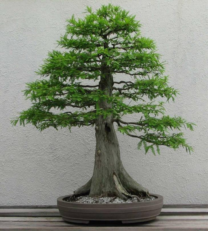 Mature bonzai trees