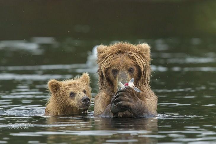 bears, cubs