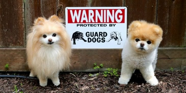 cute dogs, guard dogs