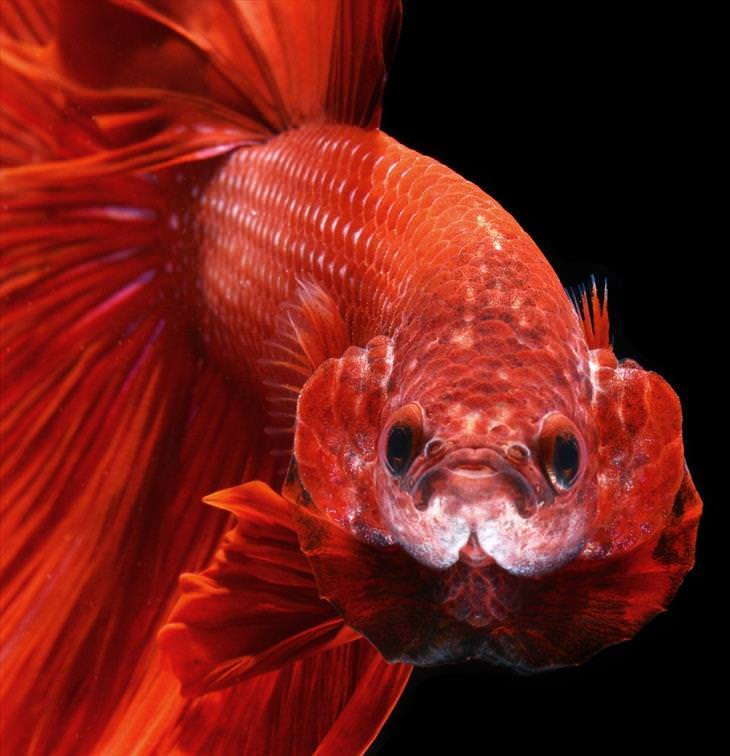 fish, Siamese fighting fish