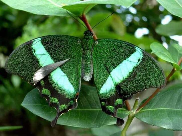 rare-butterflies