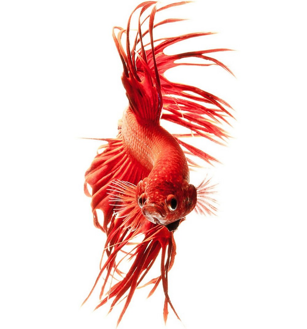 These colorful siamese fighting fish look like rai for Fighting betta fish