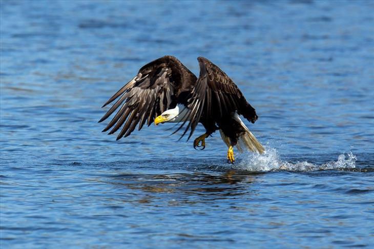 eagles, facts, amazing, beautiful, photos