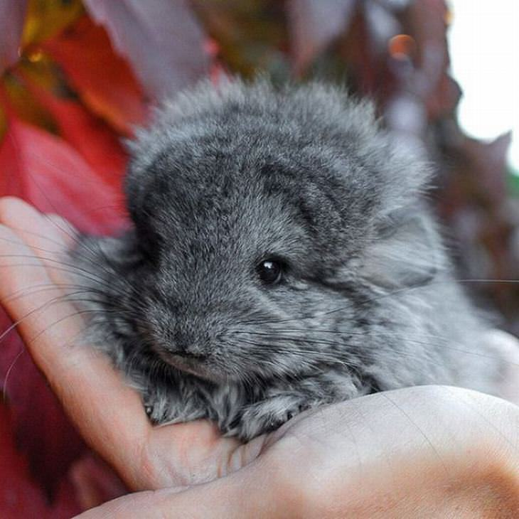 19 adorable photos of chinchillas cute overload babamail