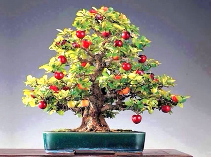 A guide to growing bonsai fruit trees tips and updates babamail fruit bonsai mightylinksfo