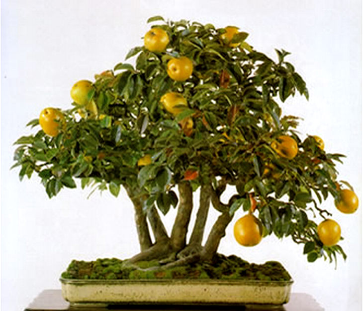 fruit-bonsai