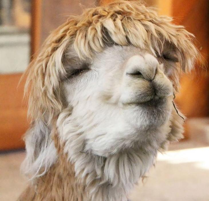 alpacas, cute, animals, video
