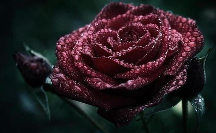 What do the rose colors mean nature babamail rose meaning mightylinksfo