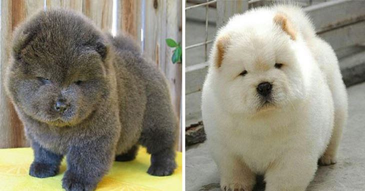 Top Puffy Chubby Adorable Dog - 480dff0a-a955-4dc4-80d6-9a0f55d4bb1e  Gallery_623167  .jpg
