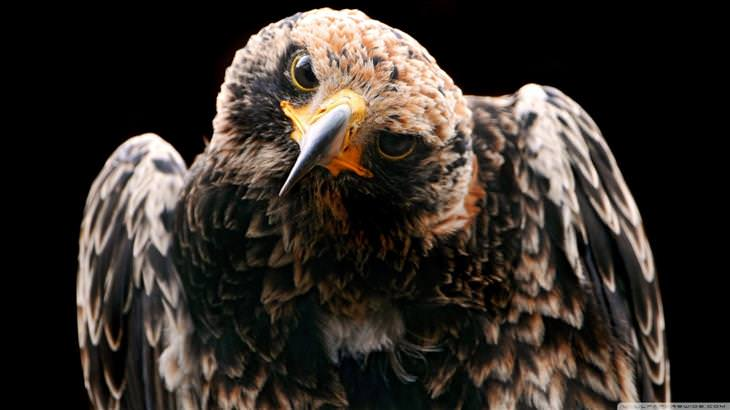 eagle facts and pictures