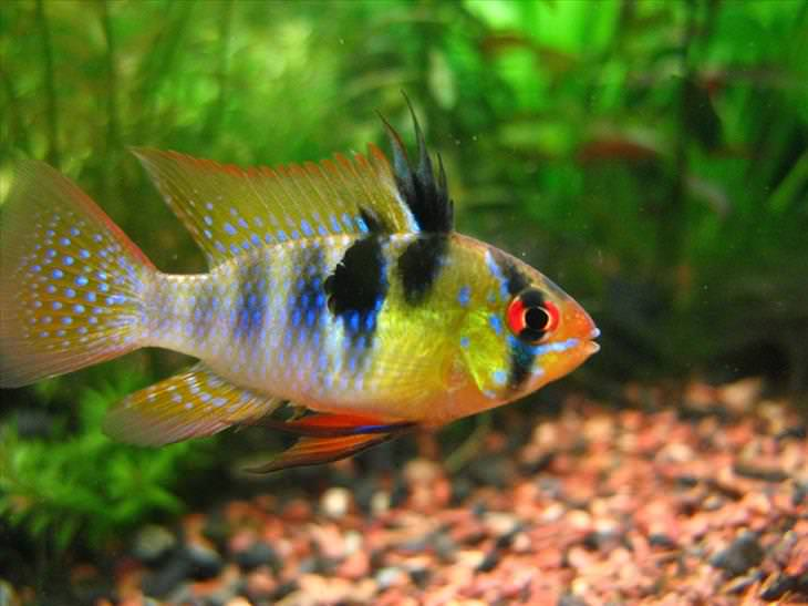 List of synonyms and antonyms of the word most colorful for Colorful freshwater aquarium fish