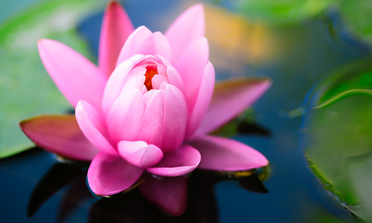 Everything you need to know about the lotus flower nature babamail the lotus flower is the national plant of both india and vietnam curiously its the pink lotus flower thats the national symbol for both mightylinksfo