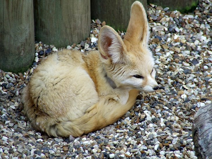 Fun Fennec Fox Facts Cute Overload Babamail