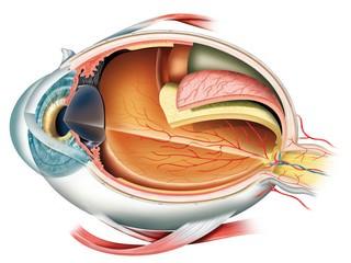 eyeball side section