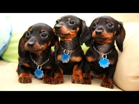 A Video Compilation Of Dachshund Dogs Being Cute Cute