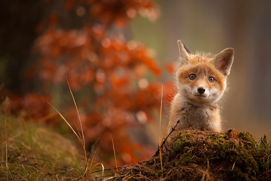 20 Adorable Baby Fox Photos Cute Overload Babamail