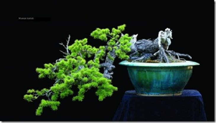 12 stunning and very rare bonsai trees nature babamail for Unusual bonsai creations