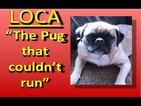 Loca The Singing Pug That Cannot Run Hilarious Funny Babamail