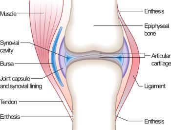 joint pain: knee bones