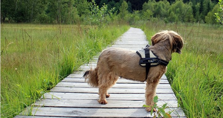 dog looking at grass standing on wooden bridge