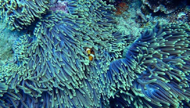 Snorkeling, Koh Kradan, Clownfish, National Park, Thailand, Andamans