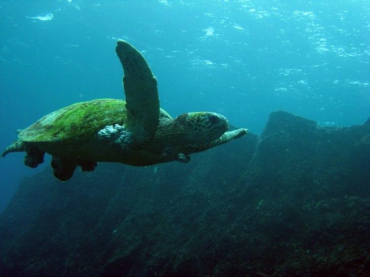 The Big Island, Hawaii, Snorkeling, Green Sea Turtle, Beautiful, Sea