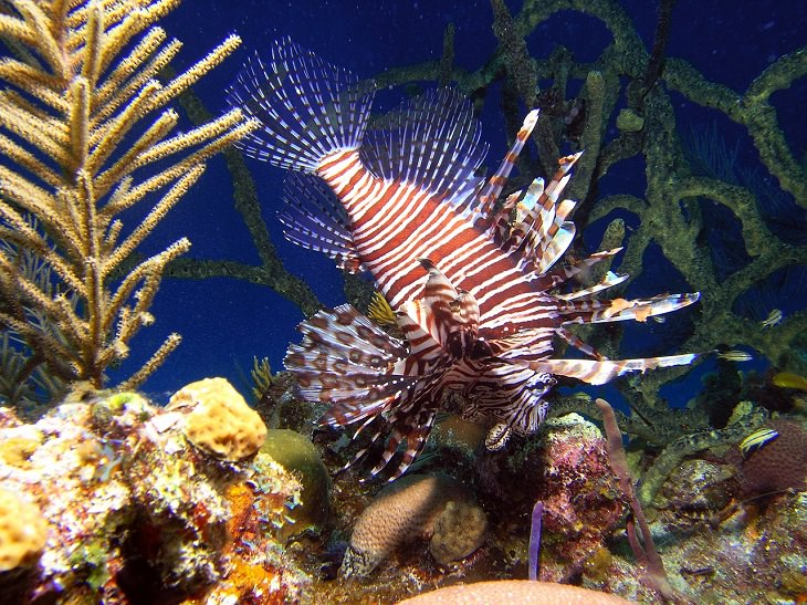 Key Largo, Florida, Lion Fish, Endangered fish, Coral, Snorkeling