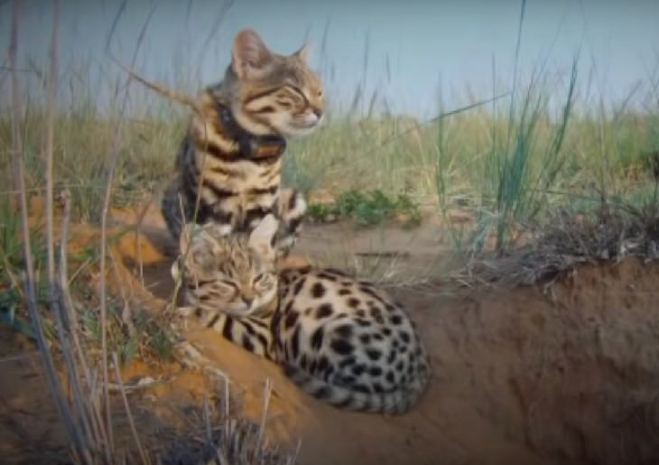 Black Footed Cat, Small Spotted Cat, Endangered Species, Protected Animal