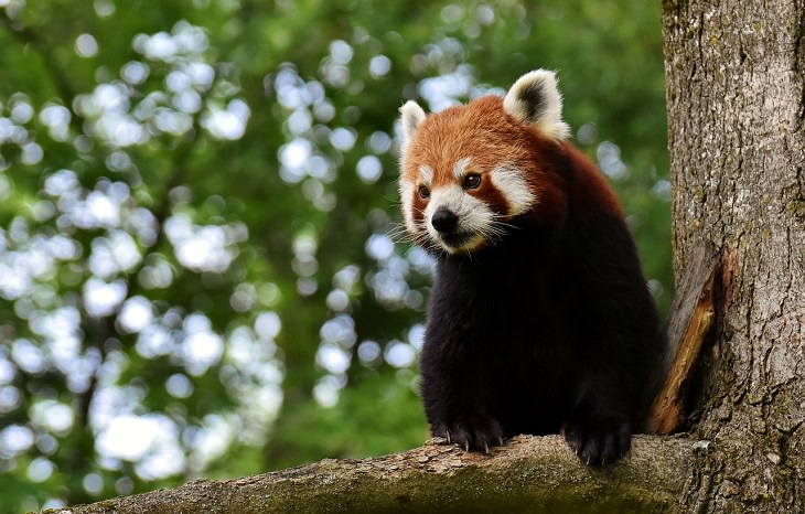 Red Panda, Endangered Species, Protected, Conservation, Vulnerable