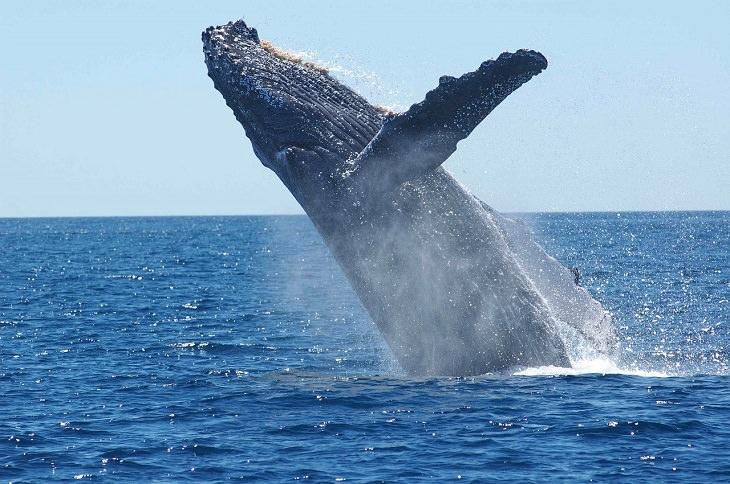 Humpback Whale, Protected Species, Endangered, Marine, Mammal