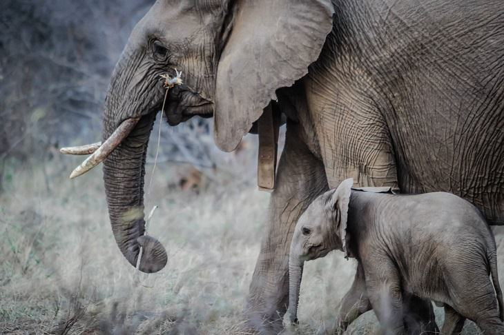 Elephants, Protected species, endangered, conservation, ivory