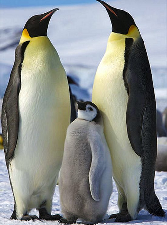Different species of Penguins, Emperor penguins parents with emperor penguin chick
