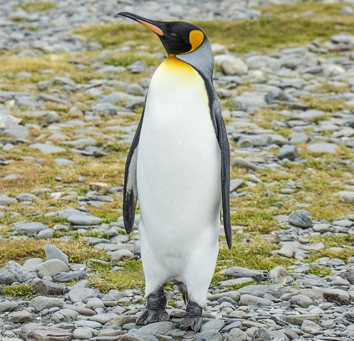 Different species of Penguins, King Penguin