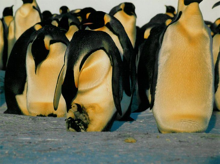 Different species of Penguins, Emperor Penguin feeding its chicks