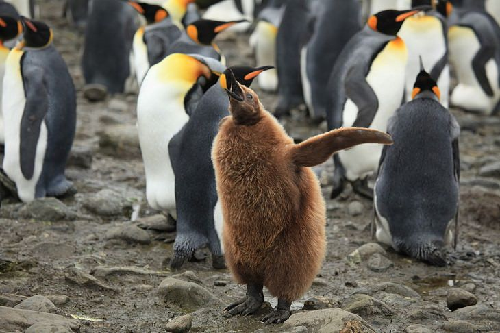 Different species of Penguins, King Penguin chick