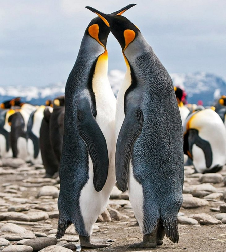 Different species of Penguins, King Penguins mating season
