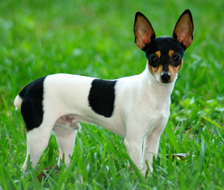 nature, pets, canine, chihuahua, cute overload, dog breeds, terrier, smallest, tiniest