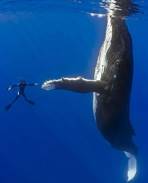 Perfectly-timed photographs, scuba diver undrwater with a humpback whale with hands and fins outstretched