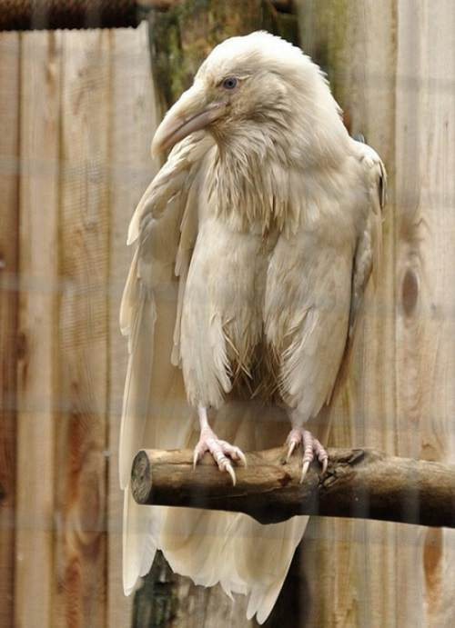 Interesting Things Only Found on Earth, An Albino Crow