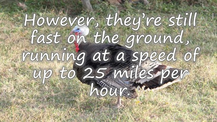Fun facts all about turkeys for thanksgiving day, turkeys running at a speed of up to 25 miles per hour