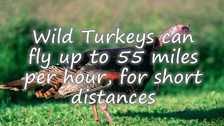 Fun facts all about turkeys for thanksgiving day, Wild Turkeys can fly up to 55 miles per hour
