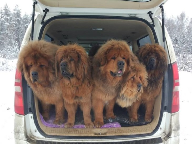 Adorable, cute pictures of Tibetan Mastiffs, car trunk with 5 tibetan mastiffs standing in it