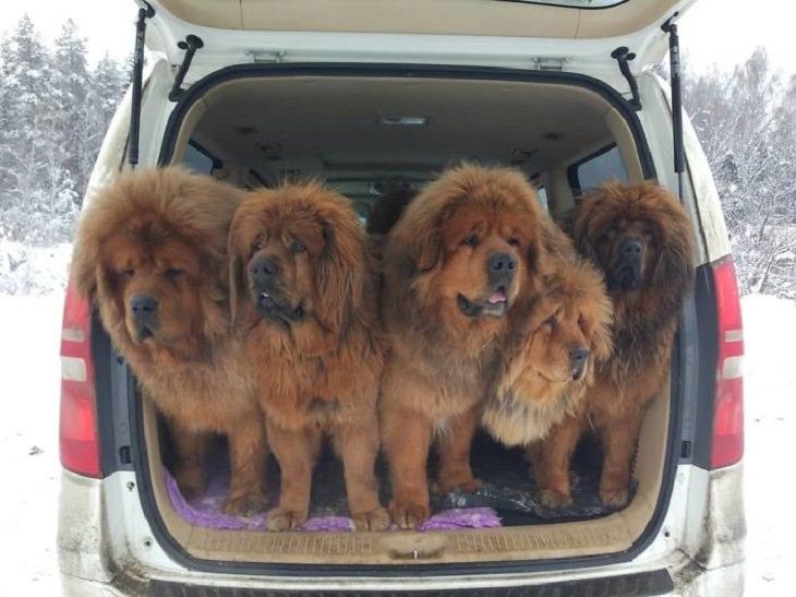 Adorable, cute pictures of Tibetan Mastiffs, car trunk with 5 tibetan mastiffs standing in it