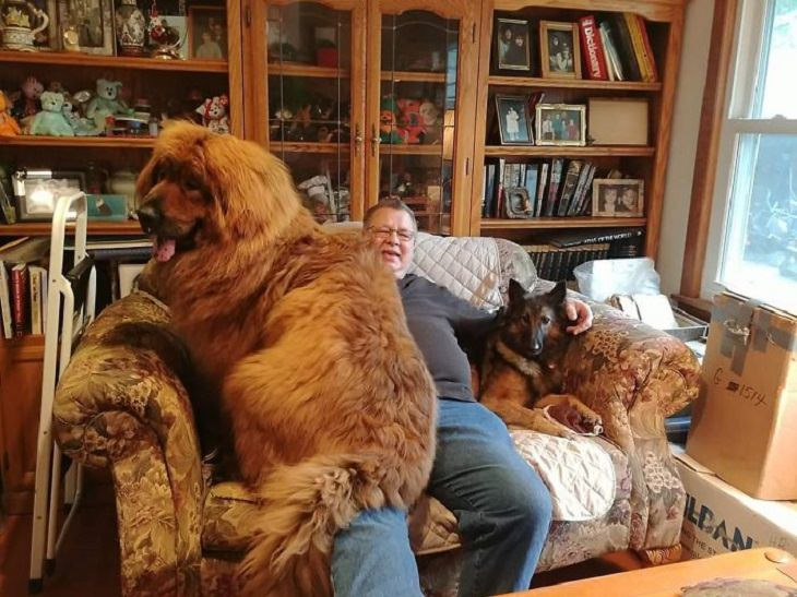 Adorable, cute pictures of Tibetan Mastiffs, two dogs on a sofa with a man, one of which is a huge tibetan mastiff
