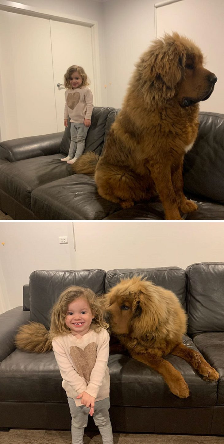 Adorable, cute pictures of Tibetan Mastiffs, two pictures of a big  tibetan mastiff on a sofa next to a small child