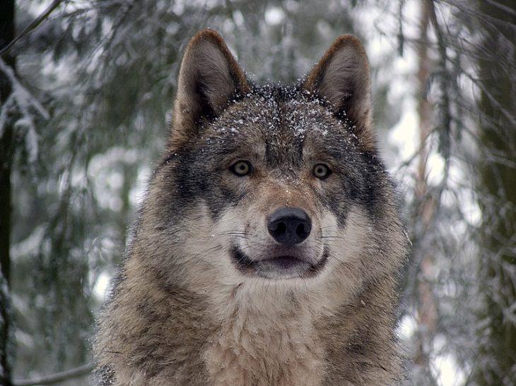 Endangered Animals gray wolf