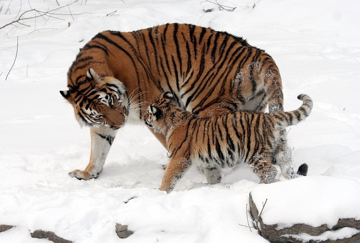 Endangered Animals Siberian tiger