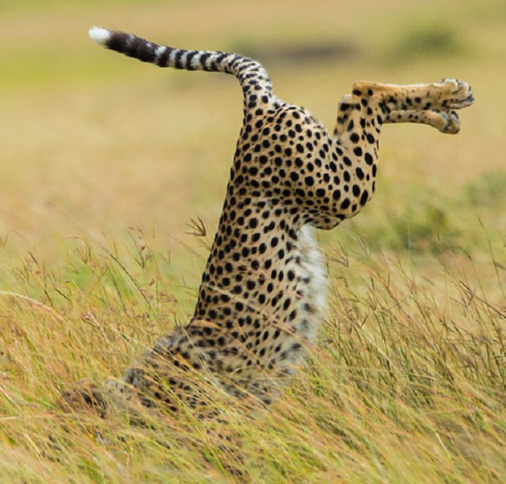 Hilarious fails and falls by animals and pets, cheetah falls on its face in the grass